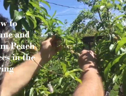 How to Prune and Thin Your Peach Tree This Spring