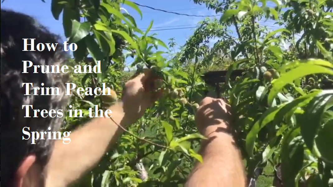 prune-trim-peach-trees-FSUG